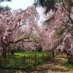 京都御苑 近衛邸跡 4月4日