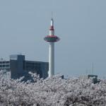 京都タワーと桜 4月