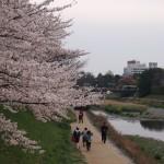 高野川 4月4日