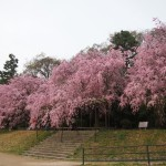 賀茂川 半木の道 4月4日