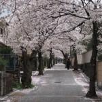西向日 桜並木のまち