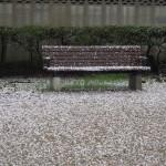 散った桜とベンチ