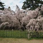 京都御苑 近衛邸跡 4月5日