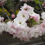 京都御苑 4月5日