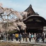 醍醐寺 太閤しだれ桜