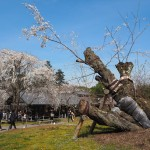 醍醐寺 霊宝館のソメイヨシノ