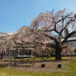 醍醐寺 醍醐深雪桜