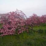 天神川堤 昨年の台風で倒れた桜 4月