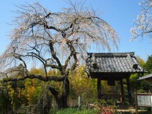 地蔵禅院 円山公園のしだれ桜の叔父にあたる