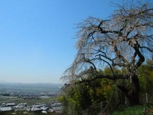 地蔵禅院 高台のしだれ桜