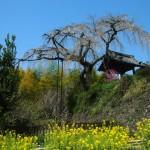 地蔵禅院 しだれ桜と菜の花