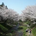 美しき玉川の桜