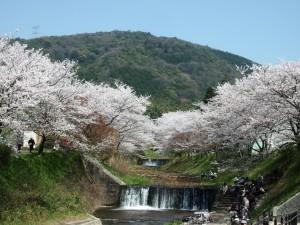 玉川堤の桜 4月5日