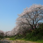 美しく咲き誇る桜
