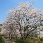 玉川 桜並木