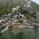 大正池と桜