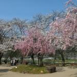 笠置 木津川河川敷の桜