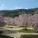 笠置 桜と山並みが美しい
