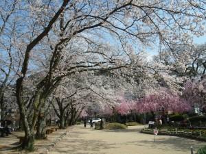 美しき笠置の桜
