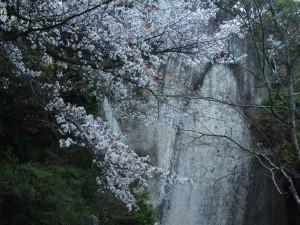 笠置寺 弥勒磨崖仏と山桜