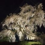 円山公園 4月5日