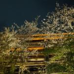 清水寺 本堂を飾る桜