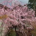 永観堂 4月5日
