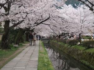 銀閣寺道の桜