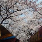 平野神社 4月