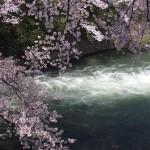 疏水の激流に咲く桜