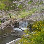 玉川堤の桜と山吹
