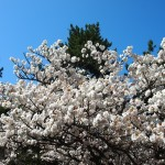 京都御苑 出水の小川 4月8日