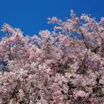 京都御苑 近衛邸跡 4月8日