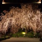 妙心寺 退蔵院 4月