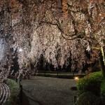 妙心寺 退蔵院 4月8日