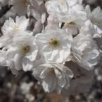 仁和寺 八重の御室桜
