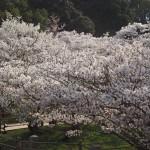 仁和寺 御室桜 4月9日