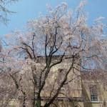 京都府庁 4月9日