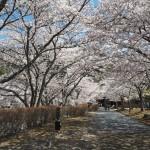 亀岡 和らぎの道 4月