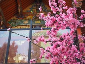 御香宮神社 菊桃