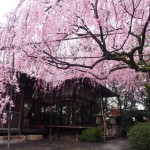 水火天満宮 しだれ桜