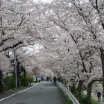 賀茂川沿い 4月