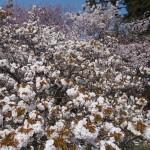京都御苑 御車返しの桜 4月9日