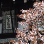 京都御所 左近の桜 4月9日