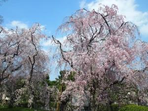二条城 しだれ桜