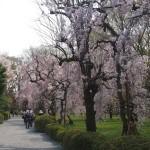 二条城 桜並木