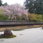龍安寺 石庭のしだれ桜