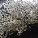 平野神社 白雲桜