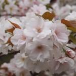 仁和寺 御室桜