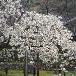 大原野神社 千眼桜